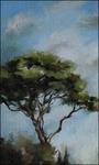 Italian Umbrella Pine by Jenny Chi