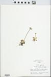Primula mistassinica Michx. by Bonnie Lovett
