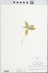 Trientalis borealis Raf. by Bonnie Lovett