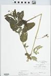 Lysimachia ciliata L. by C. Loos