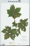 Acer platanoides L. by C. Loos
