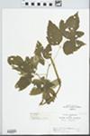 Acer negundo L. by C. Loos