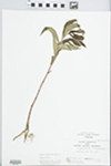 Lysimachia thyrsiflora L. by C. Loos