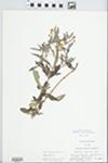 Lysimachia lanceolata Walter by Dennis Smeltzer