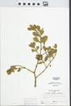 Phoradendron serotinum (Raf.) M.C. Johnston