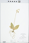 Dodecatheon meadia L. by R. W. Nyboer
