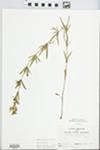 Lysimachia quadriflora Sims by Randy L. Vogel