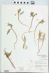 Claytonia lanceolata Pursh