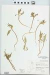 Claytonia lanceolata Pursh