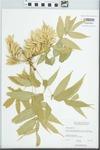 Fraxinus nigra Pott