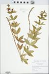 Lysimachia quadrifolia L. by Kerry Barringer