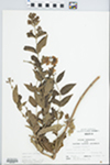 Lysimachia vulgaris L. by Bob Holeman