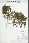 Phoradendron serotinum (Raf.) M.C. Johnston by Roger Poole