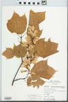 Acer pensylvanicum L. by Eugene Courtney and Fred A. Barkley