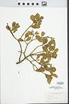 Phoradendron Nutt.