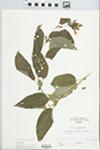 Lysimachia ciliata L. by Larry Dennis