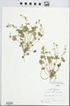 Montia perfoliata (Donn ex Willd.) T.J. Howell