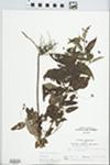 Lysimachia ciliata L. by John E. Ebinger