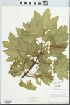 Acer pseudoplatanus L. by Kalil Boghdan and Fred A. Barkley