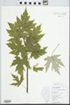 Acer saccharinum L. by N. L. Owens