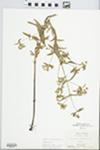 Lysimachia hybrida Michx.