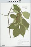 Fraxinus americana L. by Gordon C. Tucker