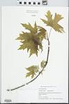 Acer saccharinum L. by Cris Thomas