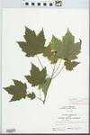 Acer rubrum Wats. by John E. Ebinger