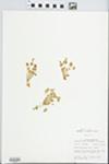 Montia perfoliata (Donn ex Willd.) T.J. Howell by John E. Ebinger