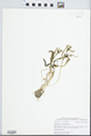 Claytonia virginica L. by Bob Edgin