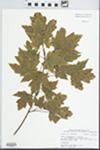 Acer X freemanii E. Murray [rubrum × saccharinum]
