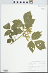 Acer negundo L. by Bob Edgin