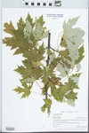 Acer saccharinum L. by Gordon C. Tucker