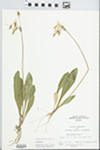 Dodecatheon meadia L.