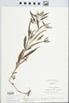 Lysimachia lanceolata Walter by G. A. Hellinga