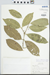 Eugenia dittocrepis O.Berg by T. B. Croat
