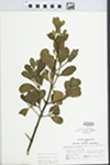 Phoradendron serotinum (Raf.) M.C. Johnston by Hampton Parker