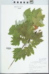 Acer x freemanii E. Murray [rubrum × saccharinum] by Bob Edgin
