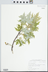 Acer saccharinum L. by Bob Edgin