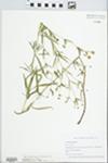 Lysimachia quadriflora Sims by Jennifer Ward