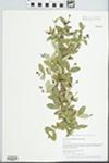 Ligustrum obtusifolium Siebold & Zucc. by Gordon C. Tucker