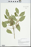 Fraxinus americana L. by Gordon C. Tucker and James W. Tucker