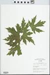 Acer saccharinum L. by Mary C. Hruska