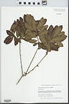 Myrica pensylvanica Mirb. by Gordon C. Tucker