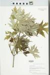 Acer saccharinum L. by Jason Haas