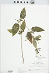 Lysimachia ciliata L.