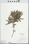 Comptonia peregrina (L.) J.M. Coult. by John E. Ebinger
