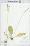 Dodecatheon amethystinum (Fassett) Fassett by Stan Tyson
