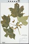 Acer nigrum Michx.f.