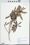 Myrica californica Cham. by Gordon C. Tucker